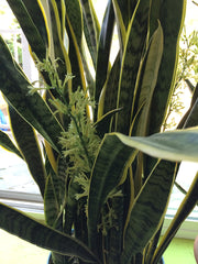Snake plants in Deb's - inventor and founder of NEVERknead - home