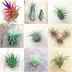 Tillandsia Air Plant Sampler Packs