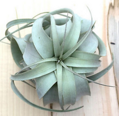 Single Tillandsia Air Plants