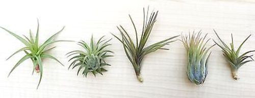 5 Tillandsia air plant sampler pack 3 - indoor outdoor houseplant collection lot