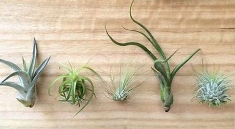 5 Tillandsia air plant sampler pack 6 - indoor outdoor houseplant collection lot