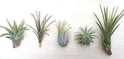 5 Tillandsia air plant sampler pack 8 - indoor outdoor houseplant