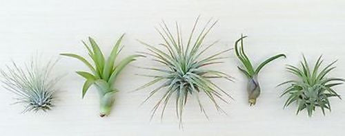 5 Tillandsia air plant sampler pack 9 - indoor outdoor houseplant