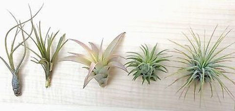 5 Tillandsia air plant sampler pack 5 - indoor outdoor houseplant collection lot