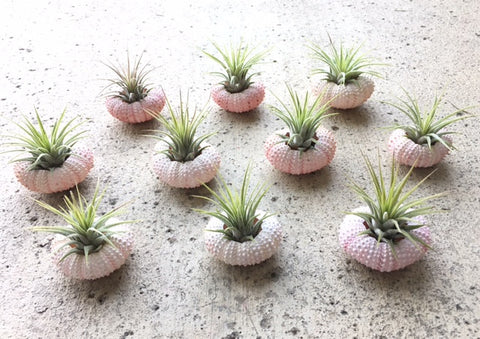 T. ionantha and pink sea urchin combo! Available in sets of 1, 3, 5 or 10!