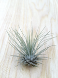 """Our Favorite Things"" - 3 Tillandsia Air Plant Collection"