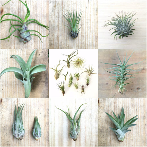 5 Pack assorted Tillandsia air plants - Easy Care Collection variety