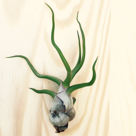 Tillandsia bulbosa air plant - small