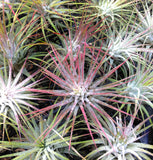 Tillandsia ionantha guatemalan air plant - indoor outdoor houseplant