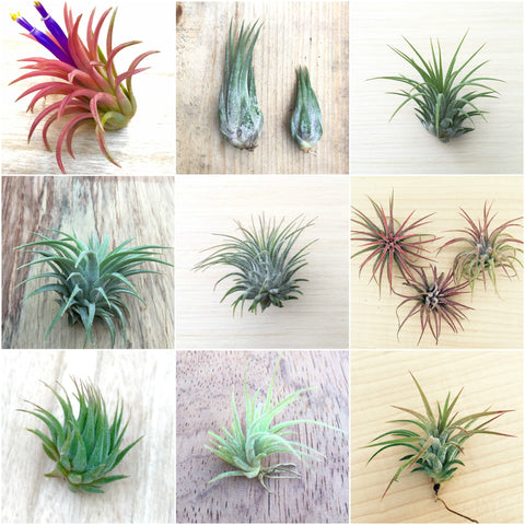 3 assorted Tillandsia Ionantha Species Air Plants - Easy Care Collection