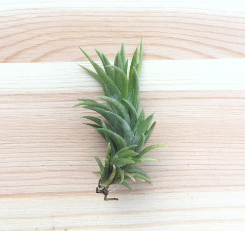 Tillandsia neglecta air plant