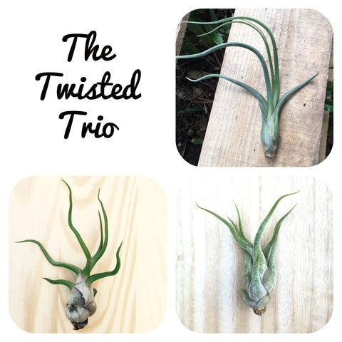 """The Twisted Trio"" - 3 Tillandsia Air Plant Collection"
