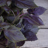 Basil Collection Seeds