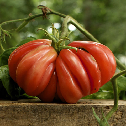 Zapotec Pleated Tomato Seeds