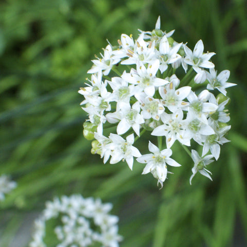 Garlic Nira Chive Seeds