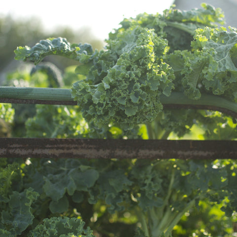 Kale Bonanza - Mixed Kale Seeds