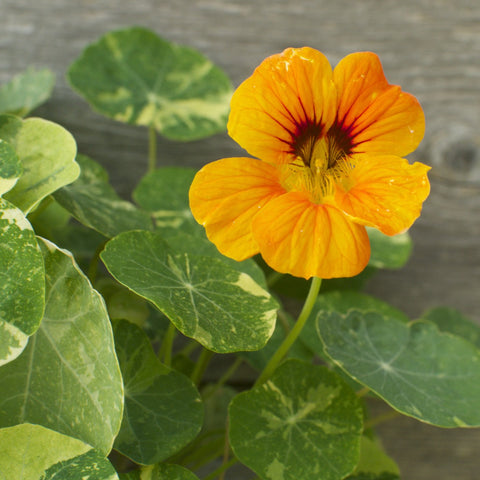 Dwarf Nasturtium Mix - Jewel Toned Edible Flower Seeds
