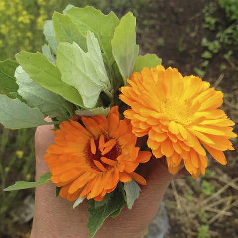 Calendula Edible Flower Seeds