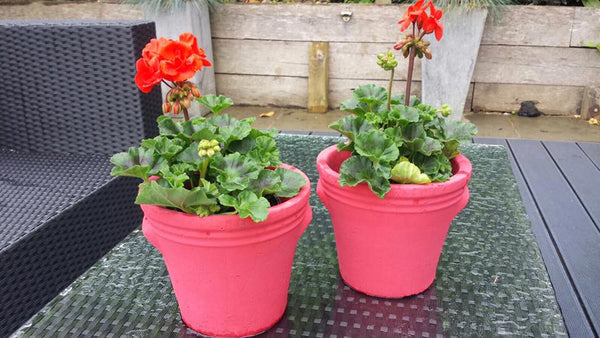 Geraniums in terracotta plant pots painted in annie sloan emperors silk red