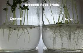 Roots treated with Azos from Xtreme Gardening