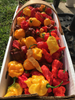 Hot peppers grown with WOW Super Starter Paks