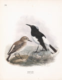 Hooded Chat (Saxicola monacha) Dresser Hand Colored Plate