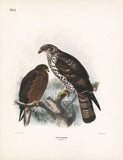 Immature Honey-buzzard Dresser Hand Colored Plate