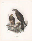 Honey Buzzard (Pernis apivorus) Dresser Hand Colored Plate
