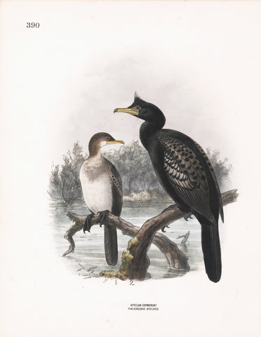 African Cormorant (Phalacracorax africanus) Dresser Hand Colored Plate