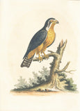Little Black and Orange Indian Hawk Hand-Colored Plate