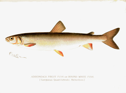 Original Denton Fish Chromolithograph, Adirondack Frost Fish or Round White Fish