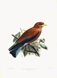 African Broad-Billed Roller (Eurystomus afer) Hand-Colored Plate