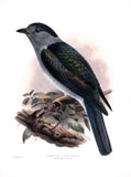 Anomalous Cuckoo-Roller (Leptosoma discolor) Hand-Colored Plate