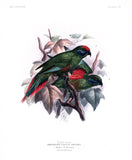 Arfak Lory Hand-Colored Plate
