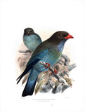 Australian Broad-Billed Roller (Eurystomus pacificus) Hand-Colored Plate