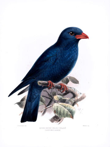 Azure Broad-Billed Roller (Eurystomus azureus) Hand-Colored Plate