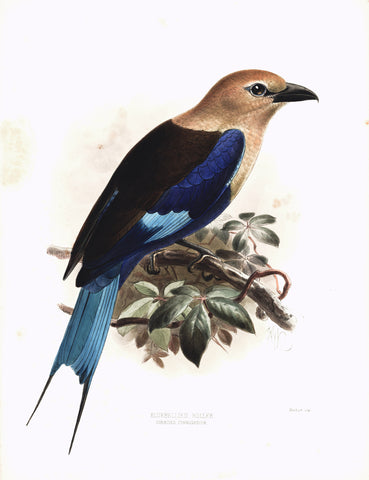 Bluebellied Roller (Coracias cyanogaster) Hand-Colored Plate