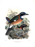 Blueheaded Ground Roller (Atelornis pittoides) Hand-Colored Plate