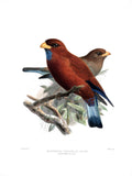 Bluethroated Broadbelled Roller (Eurystomus gularis) Hand-Colored Plate