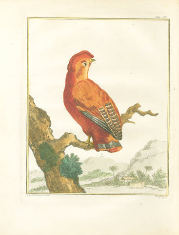 Coq-des-roches Américain (Cock of the Rock) Hand-Colored Plate with complete text