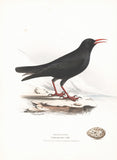 Cornish Chough (Fregilus graculus) Hand Colored Plate