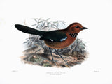 Crossley's Ground Roller (Atelornis crossleyi) Hand-Colored Plate