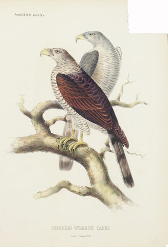 Hawk from Cuba (Cymindis Wilsonii Cassi.) Hand-Colored Plate