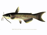 Original Denton Fish Chromolithograph, Spotted Catfish, Ictalurus punctatus