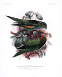Dietrichsen's Lory and the Dwarf Lory Hand-Colored Plate