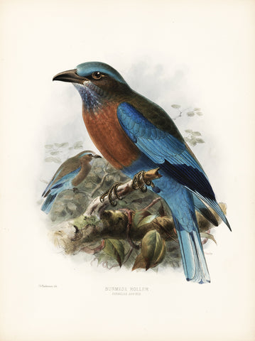 Burmese Roller (Coracias affinis) Hand-Colored Plate