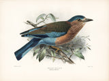 Indian Roller (Coracias indicus) Hand-Colored Plate