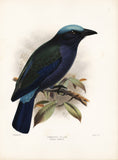 Temmincks Roller (Coracias temmincki) Hand-Colored Plate
