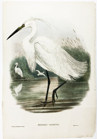 Gould and Richter Little Egret Hand-Colored Plate