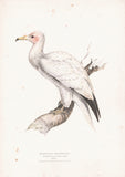 Egyptian Neophron (Neophron percnopterus) Hand Colored Plate